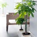 plante canicule